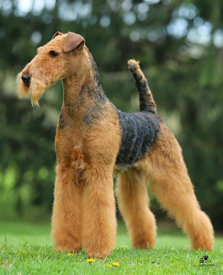 Joval Sweet Time Gorgeous Airedale Terrier Found At