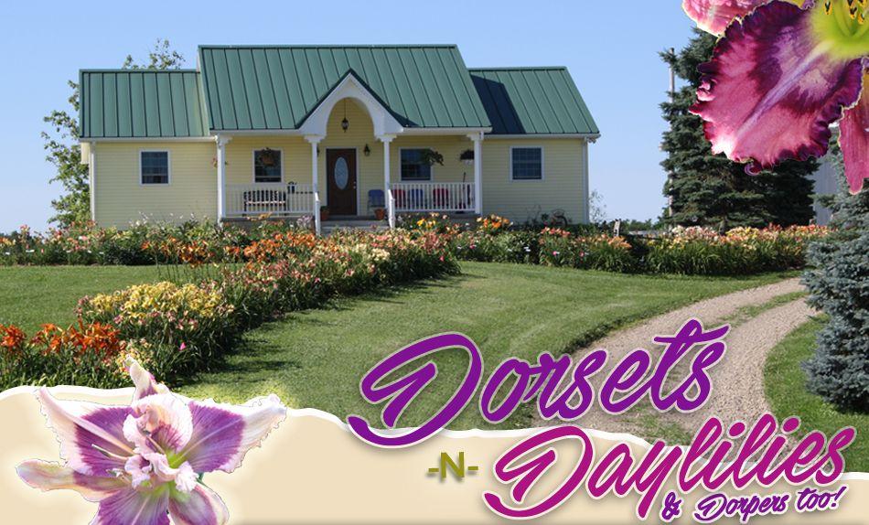 Dorsets N Daylilies Daylilies