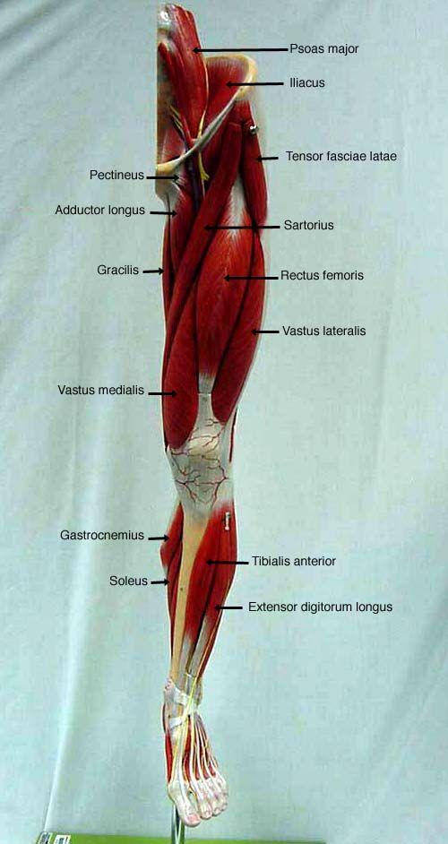 posterior thigh deep anterior <b>leg</b> lateral <b>leg</b ...