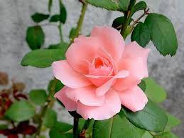 mini rosas trepadeiras - Pesquisa Google