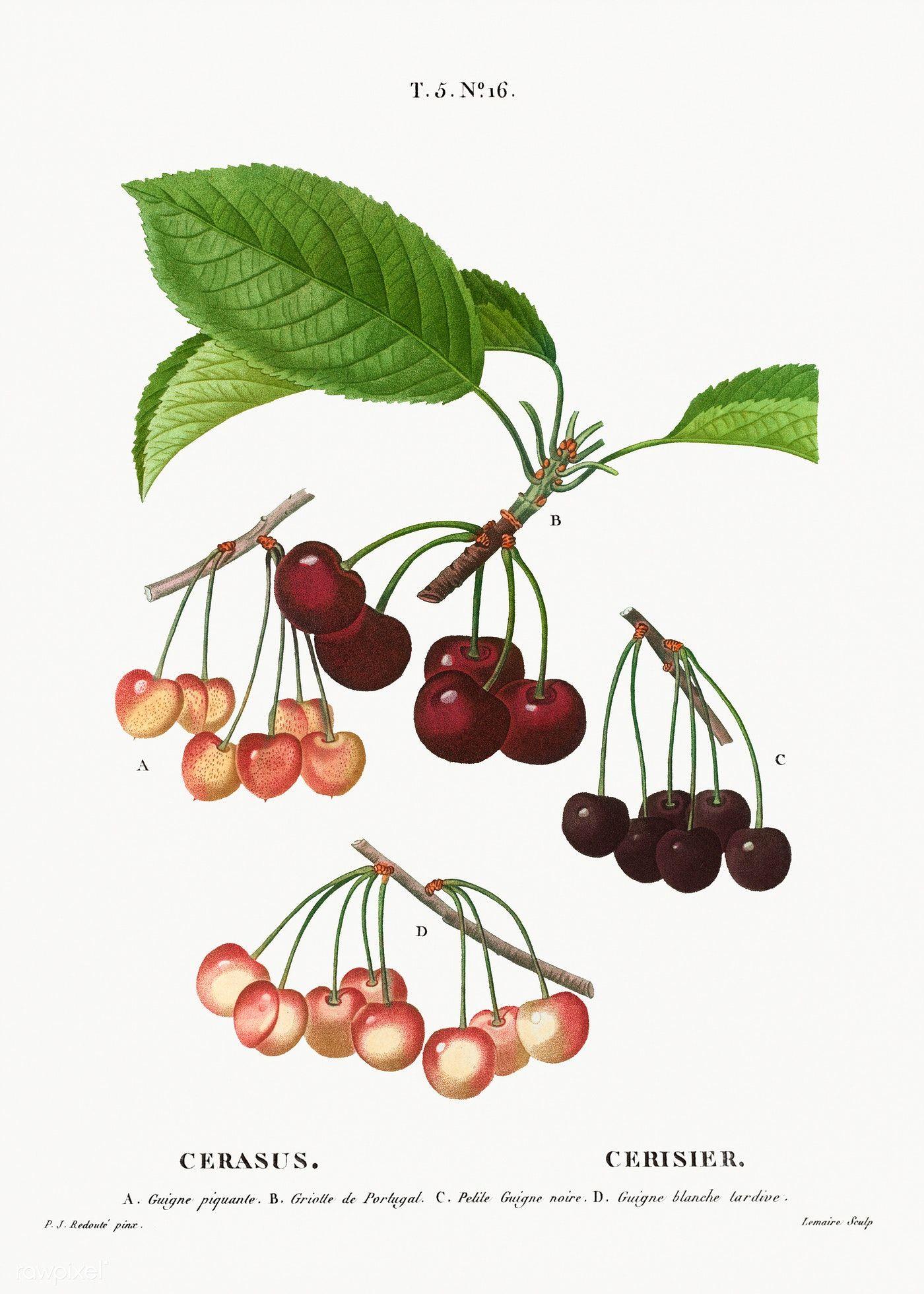 Cherry, Cerasus from Traité des Arbres et Arbustes que l