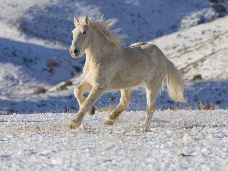 Les Fonds D Ecran Un Cheval Au Galop Dans La Neige Chevaux Dans La Neige Photos Animaux Sauvages Chevaux Blancs
