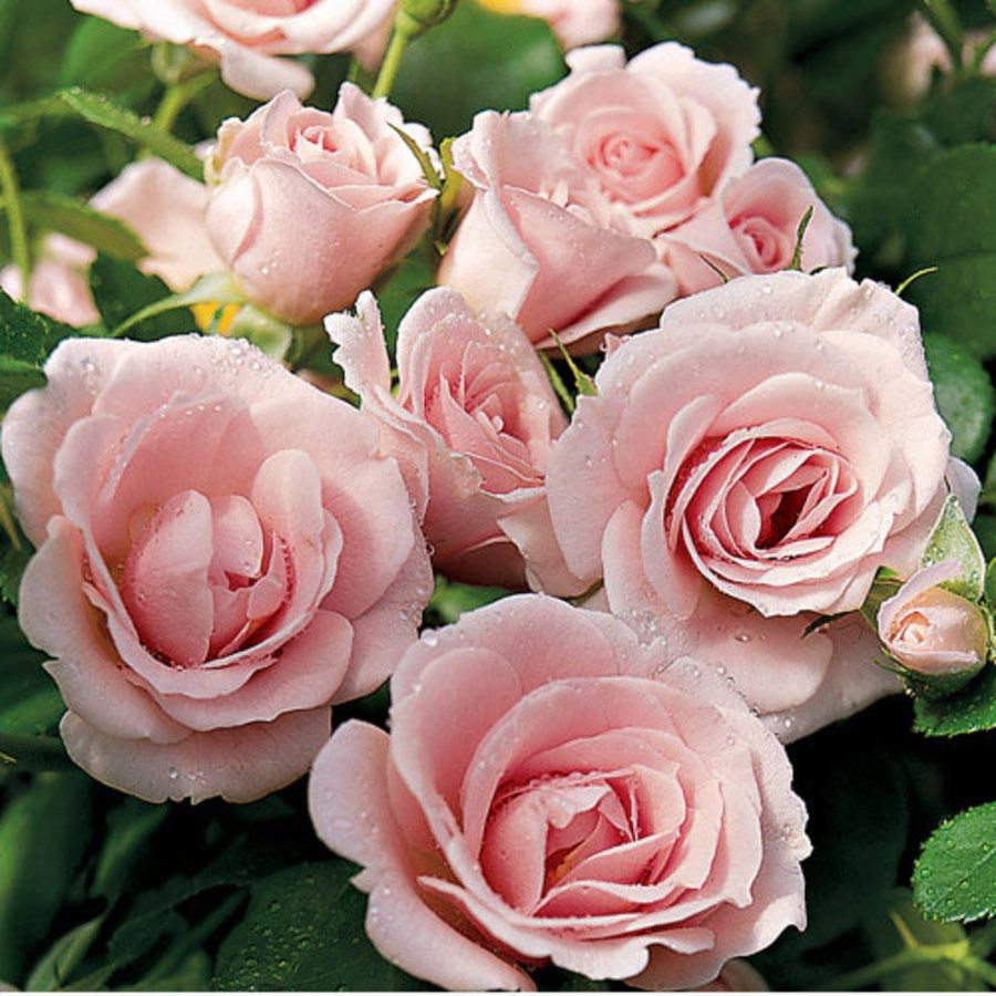 Baby Blanket™ Soft Pink Groundcover Rose from Jackson ...