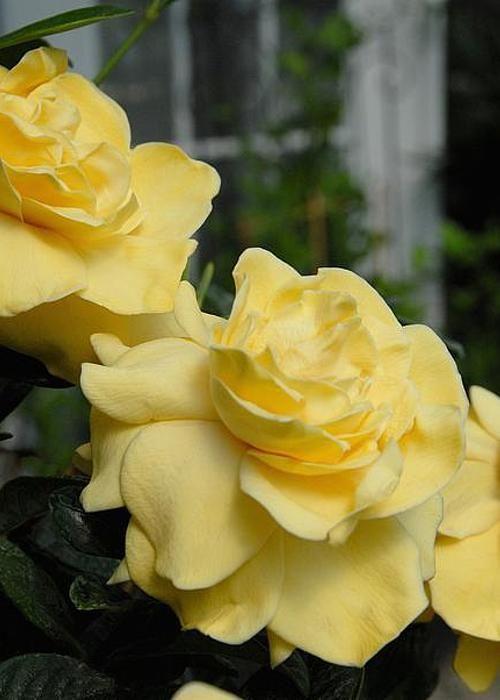 Gardenia yellow pinterest gardenias flowers and gardens gardenia yellow mightylinksfo
