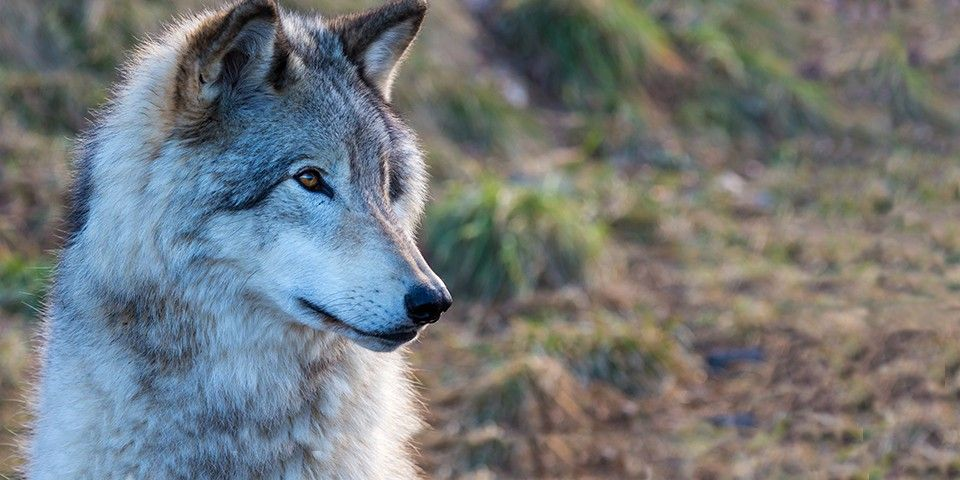 Defenders Of Wildlife Protecting Native Animals And Their