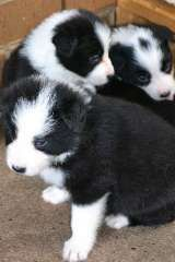 Border Collie Pups Puppies For Sale Noble Park North Victoria Border Collie Dogs For Sale In Aus Border Collie Puppies Collie Puppies For Sale Cute Animals