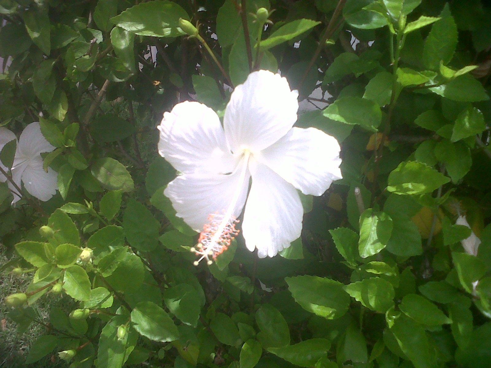 Rare White Hibiscus Flower On Oahu Near Ft Shafter Att Building