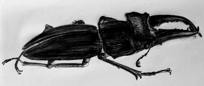 Drawing of a LUCANUS SERICEUS