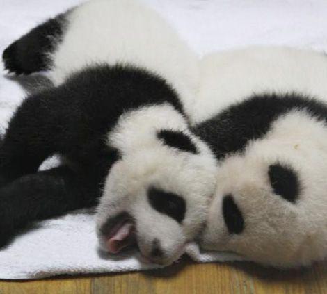 Piles of Panda Cubs! #babypandas