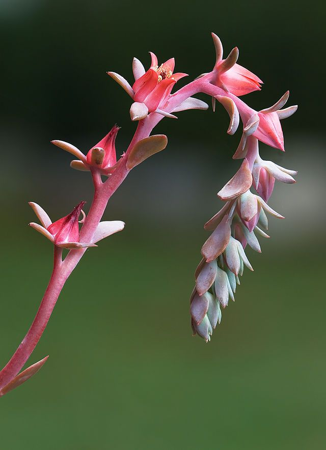 Echeveria Blue Curl Wikipedia Featured Pictures Plants Flowers