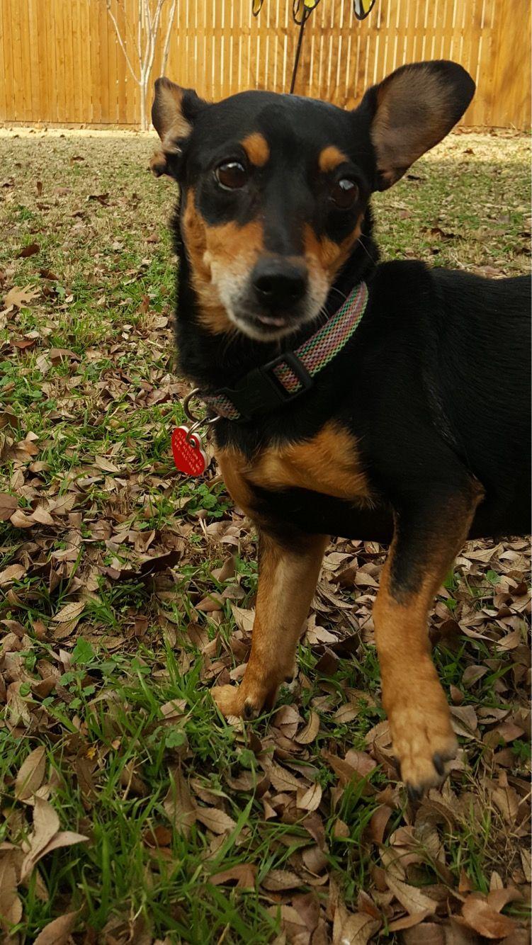 Chiweenie Dog For Adoption In Denton Tx Adn 424618 On