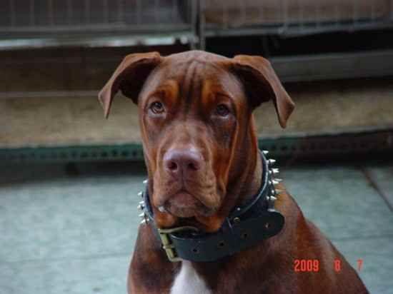 Dd 30 Doberman Bulldog American Bulldog Doberman Pinscher