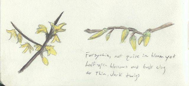 5 March 2012 - Forsythia not quite in bloom.