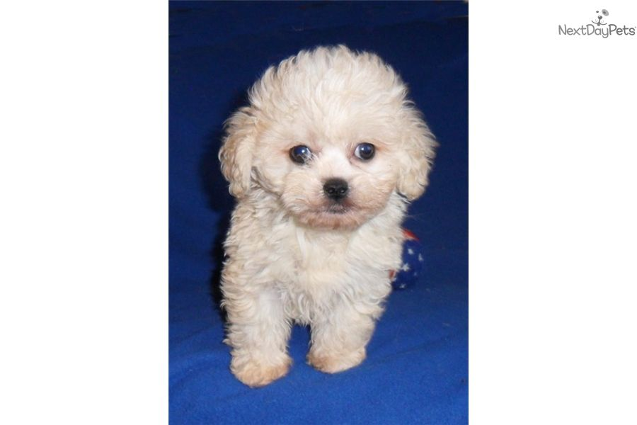 Shih Poo Shihpoo Puppy For Sale Near Akron Canton Ohio Ce24f546 D331 Shih Poo Poo Puppies For Sale