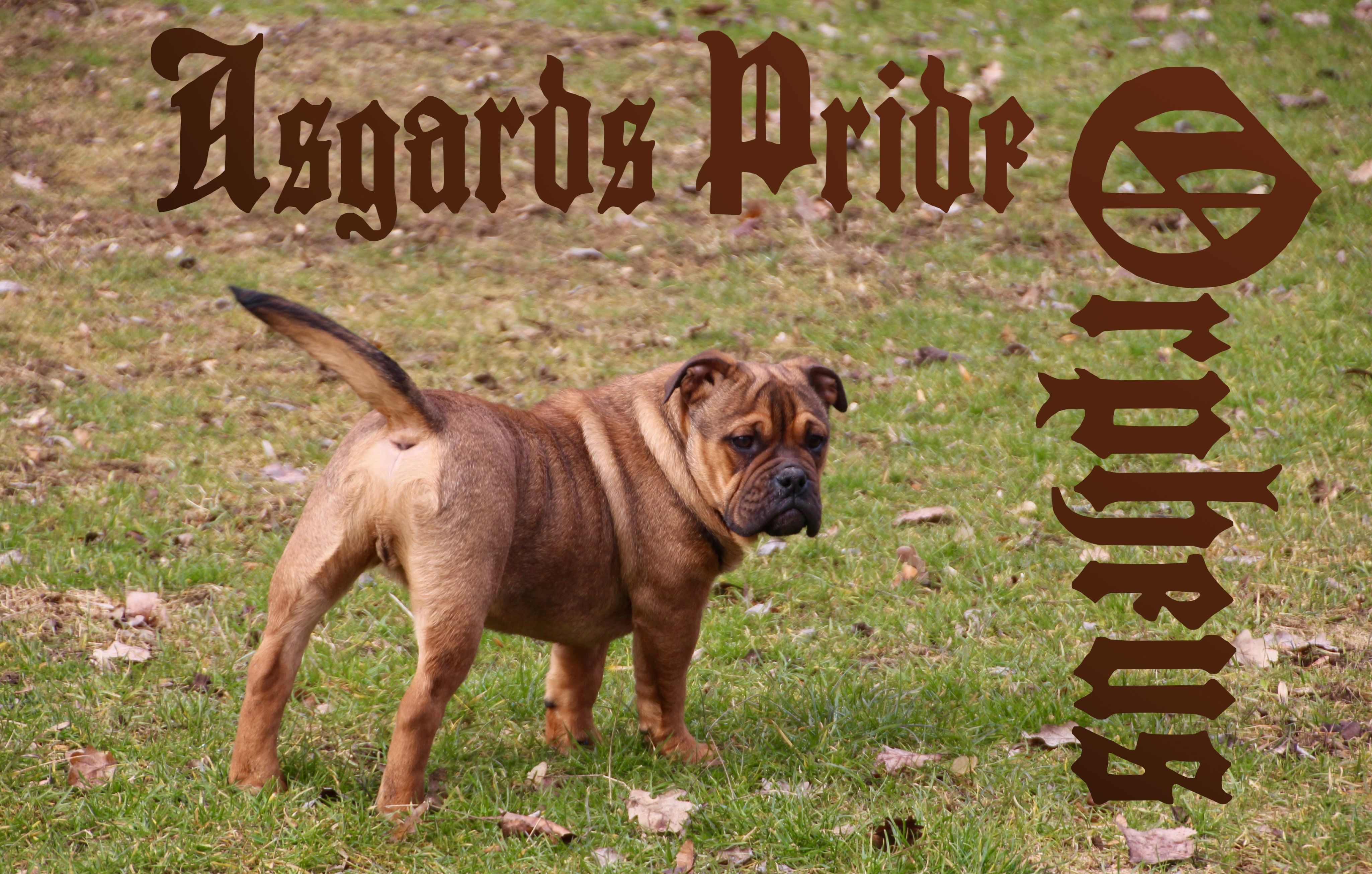 Ap Orpheus We Hope He Gets A New Legend Ap In The Future Continental Bulldog Bulldogge Welpen
