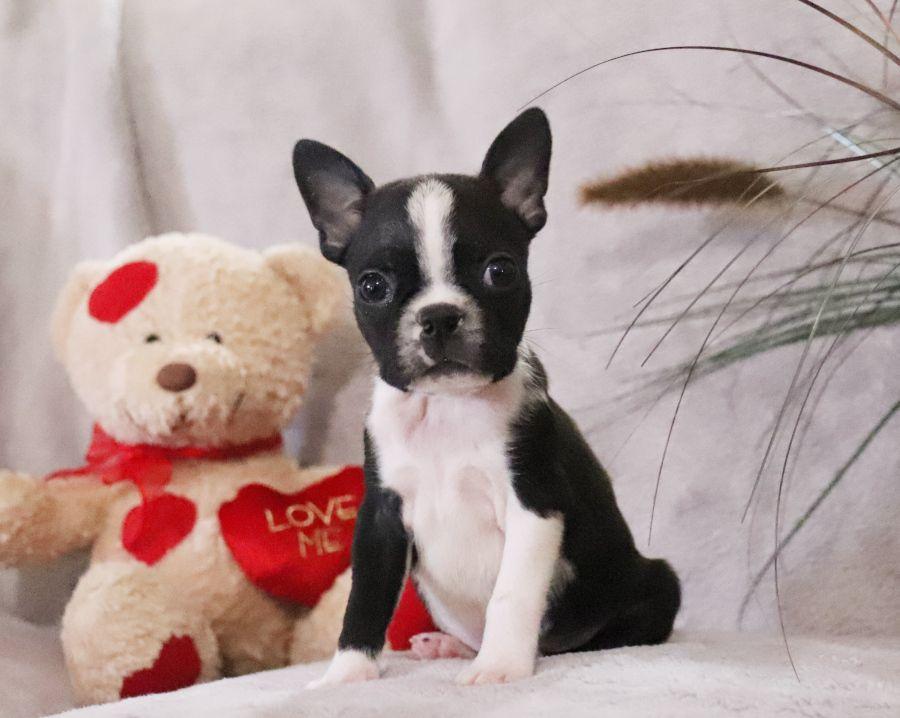 Bostonterrier Pups Dubbed Theamericangentleman