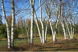 How To Preserve Birch Tree Branches My Pic White