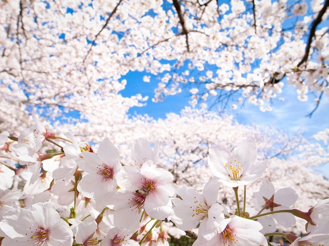 Sakura 10 Cherry Blossoms 7 Keage Kyoto Picture Quotes In A Heartbeat Heart Beating Fast