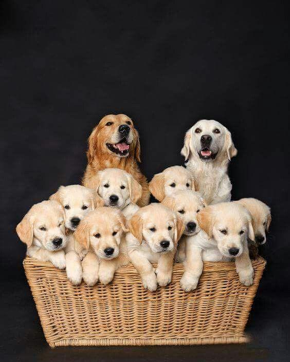 Golden Retriever Family Proud Parents Puppies Golden