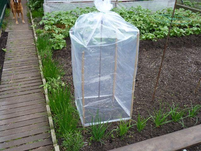 Housses tomates jardin pinterest - Quand planter les tomates cerises ...
