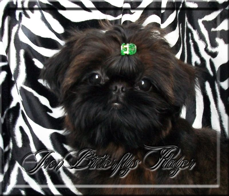 Quality Chinese Imperial Shih Tzu and Tiny Teacup Puppies