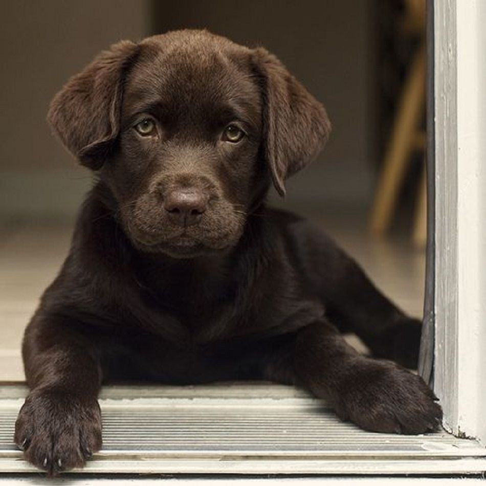 This is an adorable chocolate Labrador retriever pup about 10 weeks old...so cute!