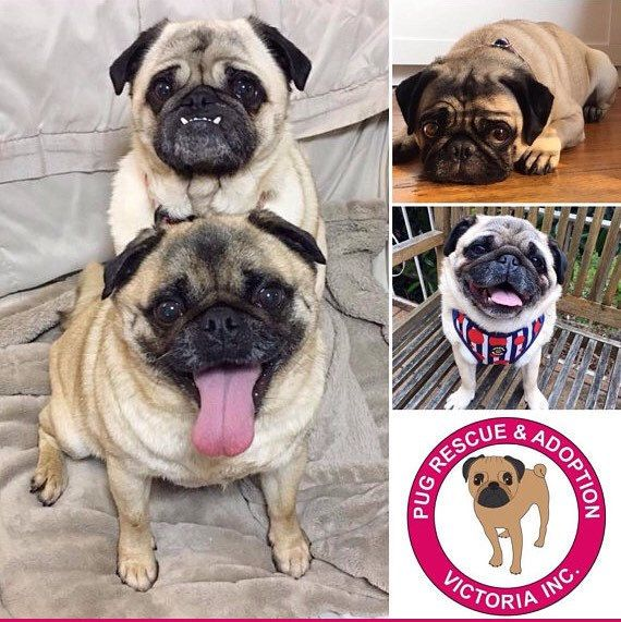 Check Out My Shop Section Pug Rescue Fundraiser Where All Proceeds