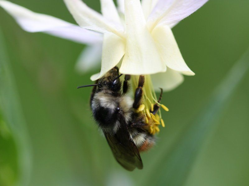 Bumblebees Can Fly Into Thin Air Bugs, insects, Bugs