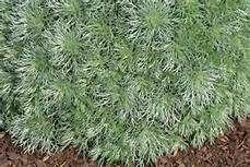 Artemisia Yahoo Search Results