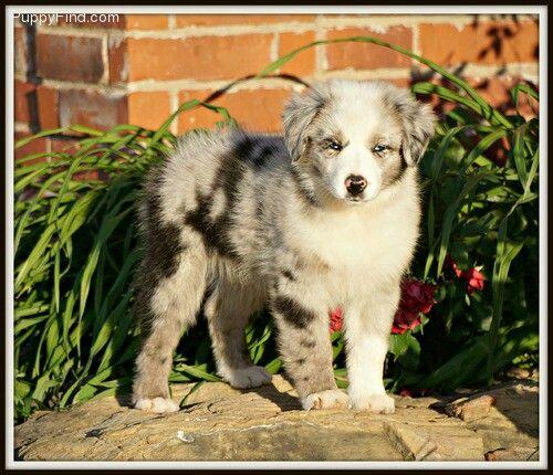Blue Merle Bi Colored Australian Shepherd Male Puppy Australian Shepherd Aussie Dogs Dog Lovers