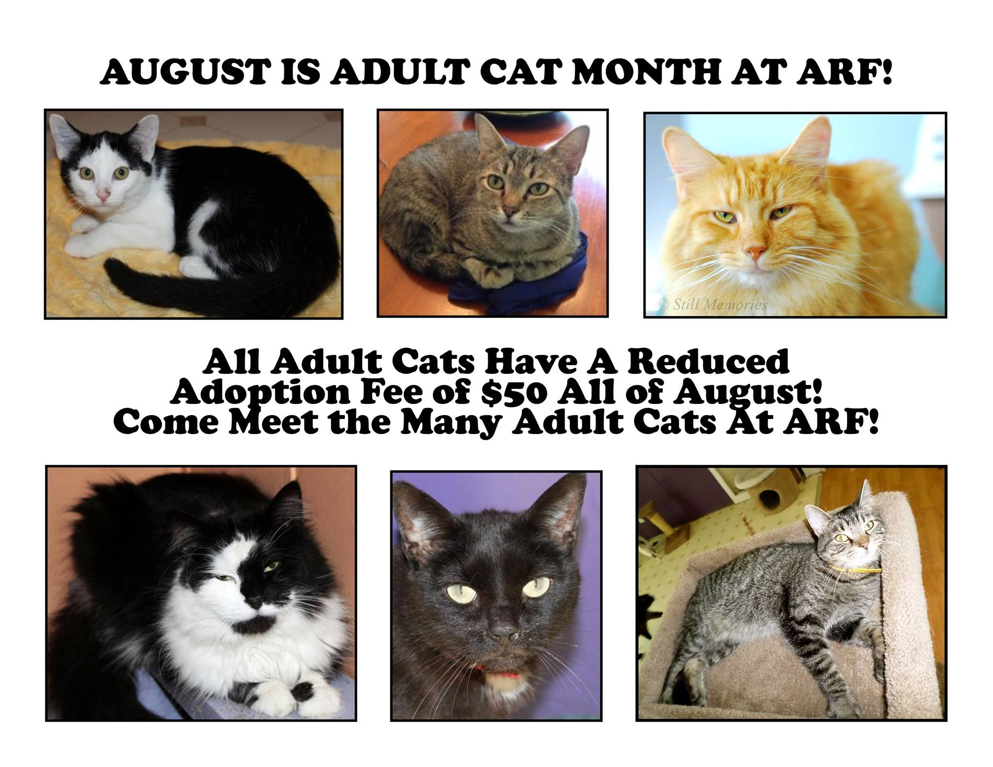 August is Adult Cat Month At ARF! (With images) Cats