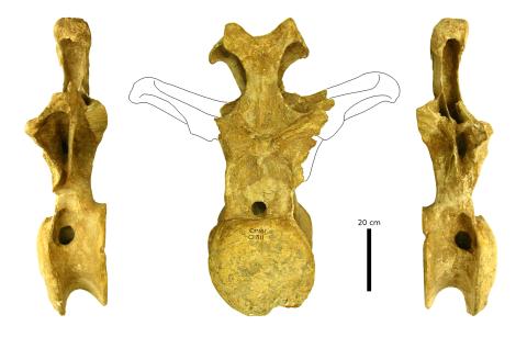 OMNH 1811, a Camarasaurus dorsal from Black Mesa ...