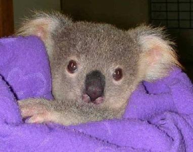 Cool Koala Bear Chubby Adorable Dog - d14ebcee81dd39b18c387514de1306b5  You Should Have_861486  .jpg