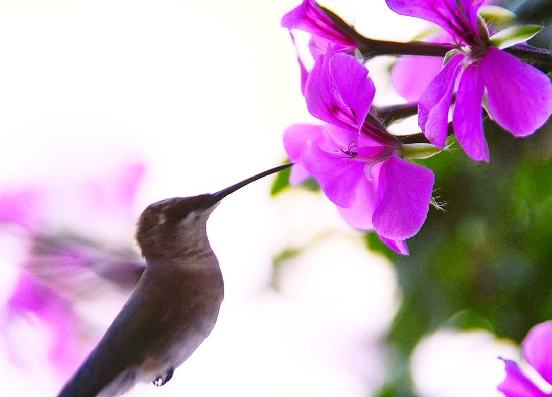 Humming bird.  #hummingbird #agameoftones #ig_masterpiece #ig_exquisite #ig_shotz #global_hotshotz #superhubs #main_vision #master_shots #exclusive_shots #hubs_united #jaw_dropping_shotz #worldshotz #theworldshotz#pixel_ig #photographyislifee#photographyislife #photographysouls #photographyeveryday #photographylover  #xposuremag#icatching#collectivelycreate#wanderlust #heatercentral#highsnobiety #shotzdelight