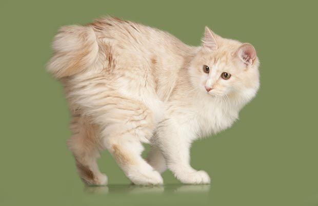 Mèo Manx cộc đuôi