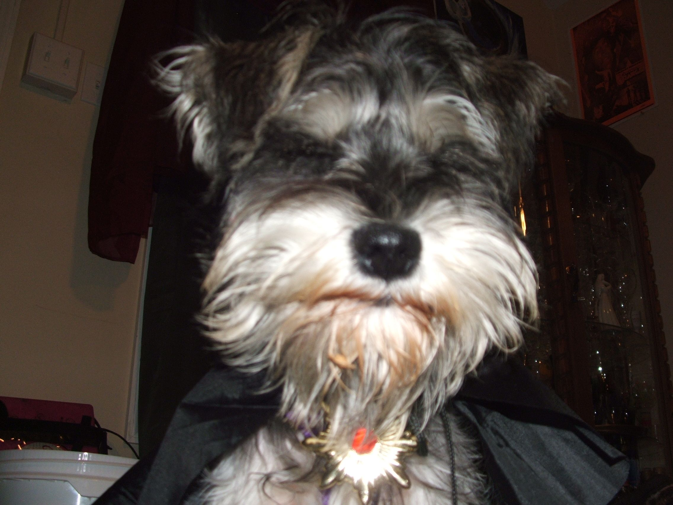 Salty Dog says can't make me look. #puppy #schnauzer #cute
