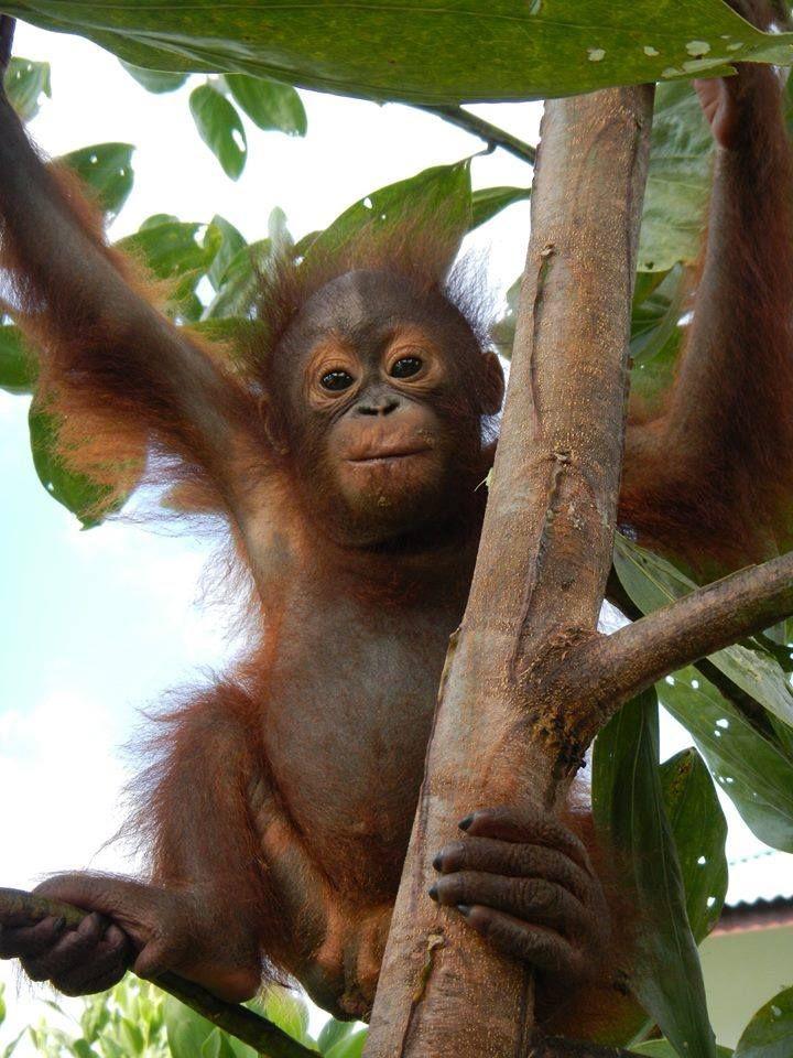 Pin by Gail Malec on Orangutan   Pet monkey, Baby ...
