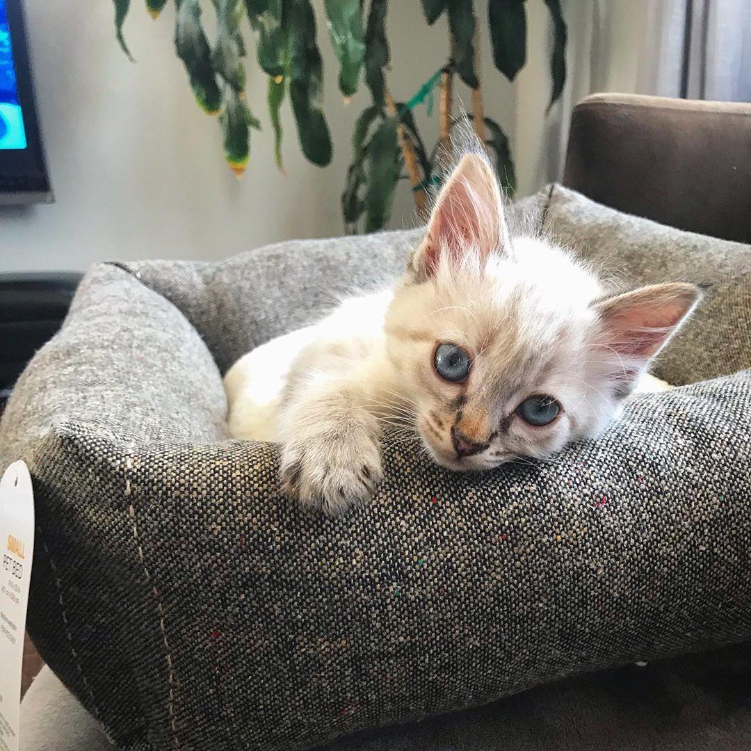 I Loves My New Kitten Bed Target Kitten Catbed Cats Ilovecats Catlady Linxpoint Siamese Whitecat Meow Kitty Cat Catsofinstagram Instakitty Inst Hayvanlar Resim