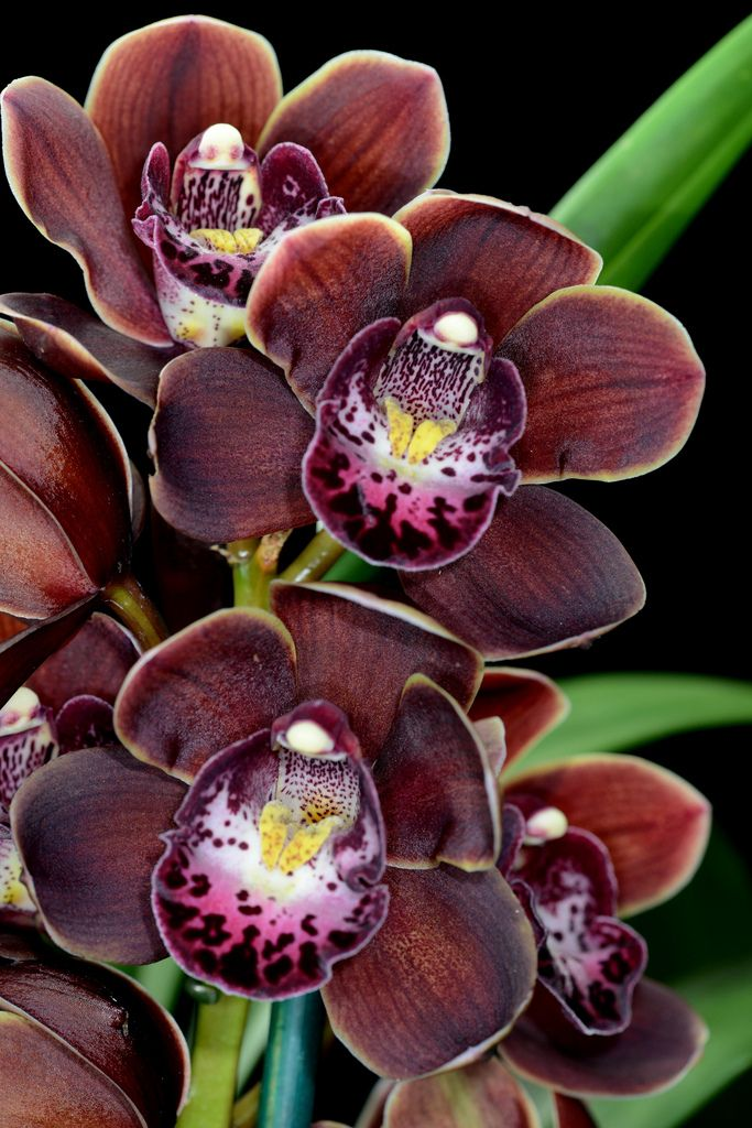 Cymbidium Mini Wonder Chocolate Cymbidium Orchids Care Types Of Orchids Orchid Flower
