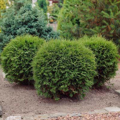 Emerald Green Thuja Tree Arborvitae Landscaping Garden Shrubs Landscaping With Rocks