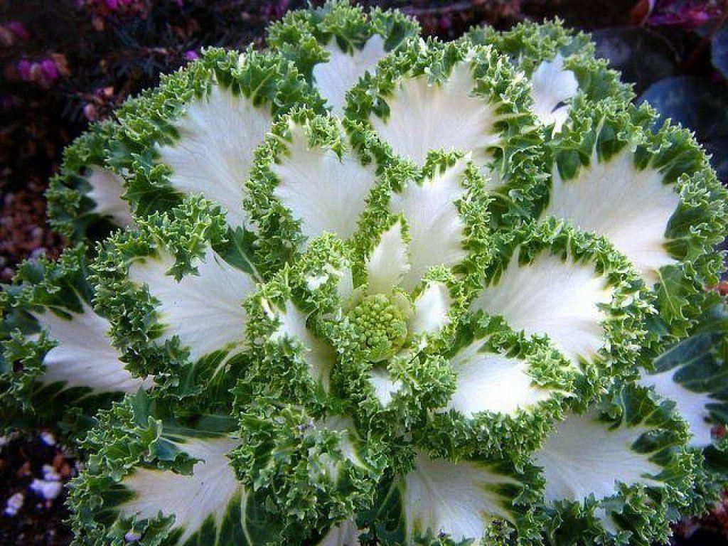 Necesitas excusas para incluir coles ornamentales en tu jardín ...