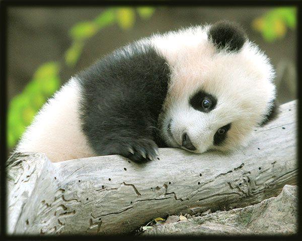 Unduh 93+ Gambar Panda Imut Dan Lucu Terbaru Gratis