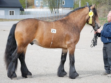 Dølehest stallion Borkson