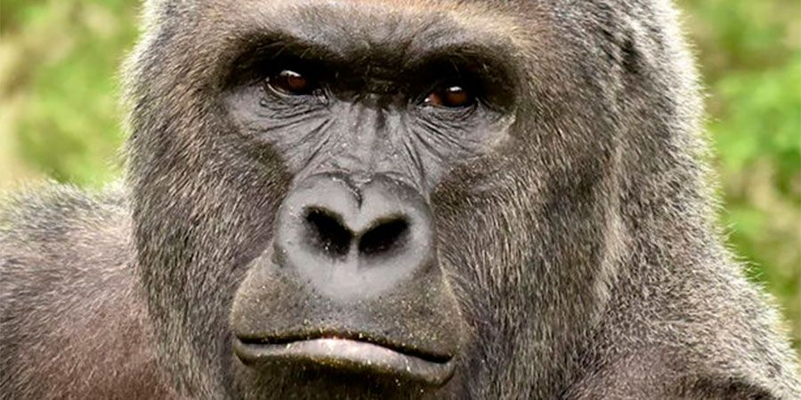 Madre de menor que ingresó a jaula de gorila no será acusada de negligencia | Mundo | LA TERCERA