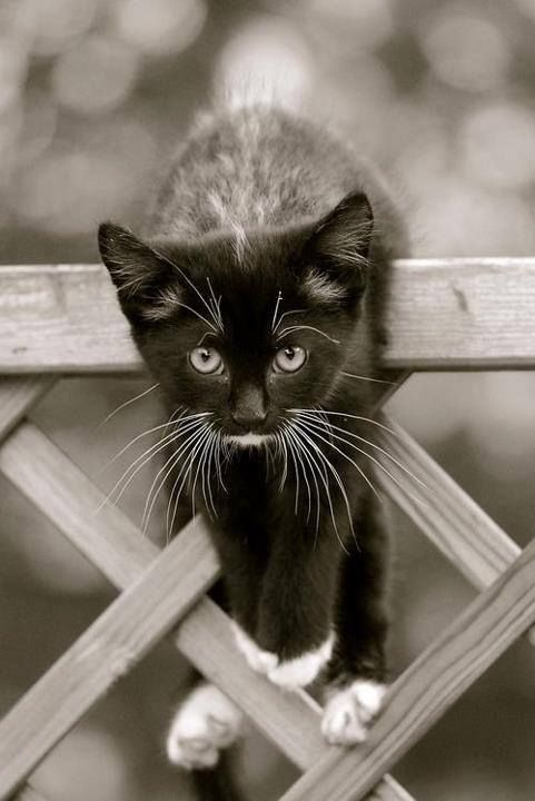 cute cat - kitten - black and White photograpy