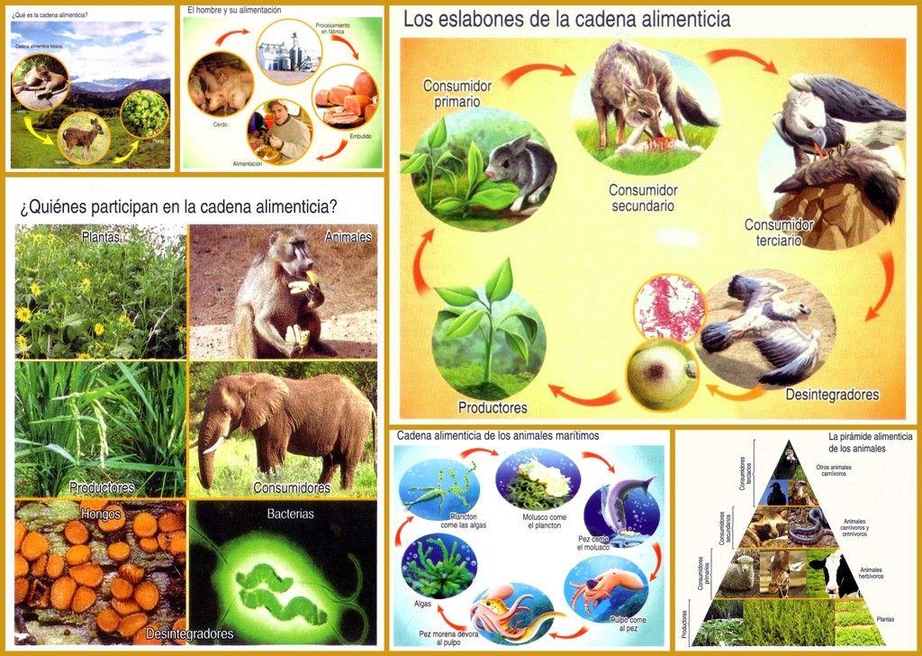 Lamina Cadena Alimenticia Mis Imágenes Escolares Laminas Actividades Para Niños Escolares