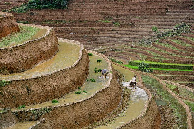 Cultivos De Arroz En Terrazas Vietnam Terrazas Vietnam