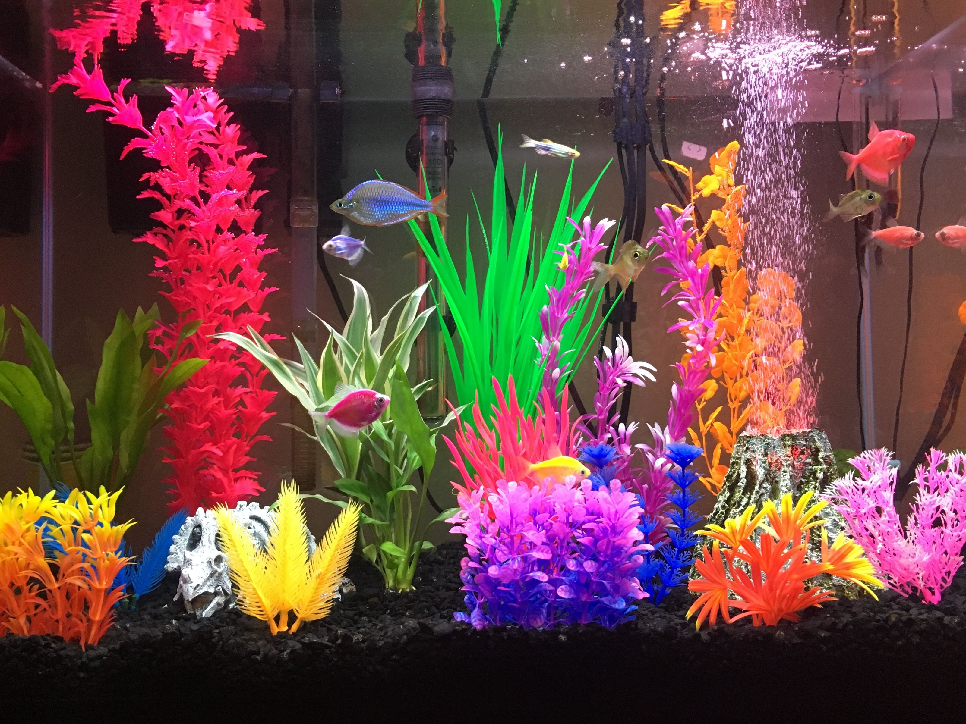 Colorful glofish tank  Fish tank themes, Glofish tank, Fish tank