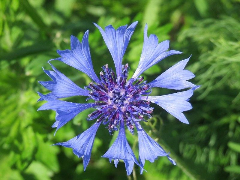 le bleuet une plante sauvage aux fleurs comestibles fleurs comestibles types of blue. Black Bedroom Furniture Sets. Home Design Ideas