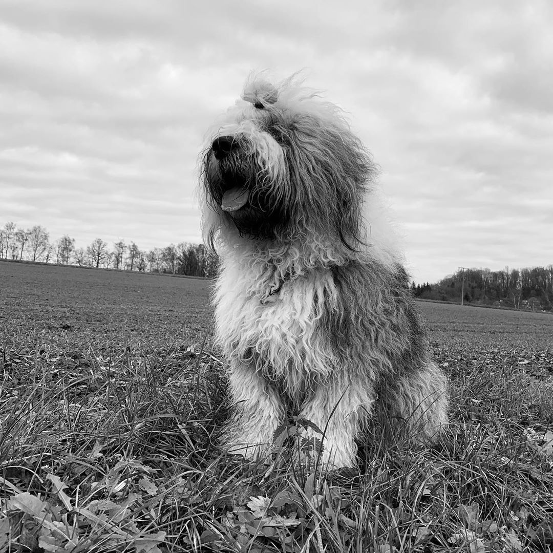 Canine Ear Infections and Your Dog #waitingforfirstsnow #bobtail #bobtaildog #bobtailofinstagram #oes #elmo #oldenglishsheepdog #oldenglishsheepdoggram...
